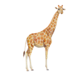 Girafe adulte - robe 34