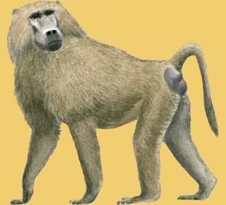 Recueillir un animal de la savane d'espèce babouin