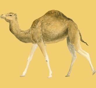 Recueillir un animal de la savane d'espèce dromadaire