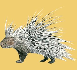 Recueillir un animal de la savane d'espèce porc-épic
