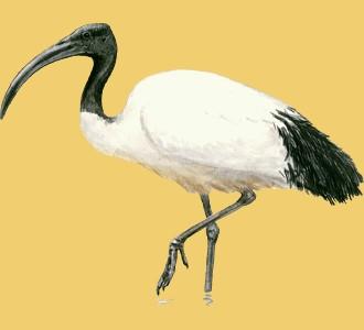 Recueillir un animal de la savane d'espèce ibis sacré