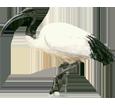 Ibis sacré adulte - robe 65