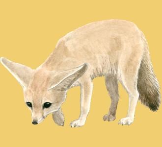 Recueillir un animal de la savane d'espèce fennec