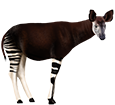 Okapi ##STADE## - robe 5