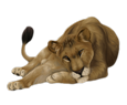 Lion ##STADE## - robe 16020