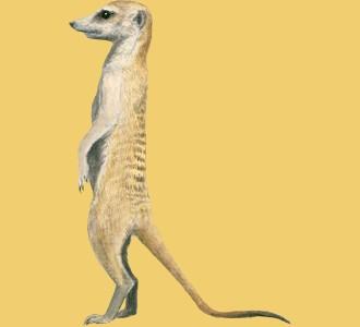 Recueillir un animal de la savane d'espèce suricate