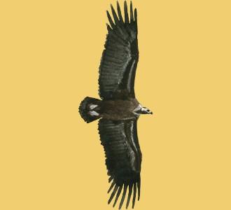 Recueillir un animal de la savane d'espèce vautour moine